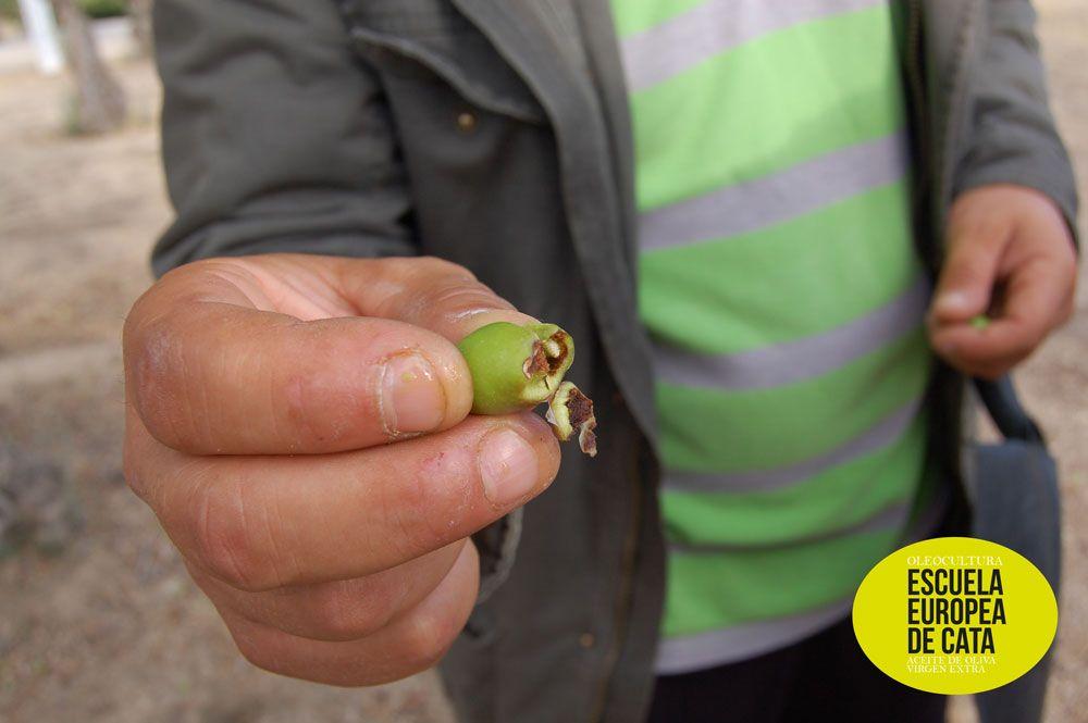 Miguel, desde Gerona, nos muestra una aceituna picada de mosca con la larva aún en su interior. En el Olivar de la Hinojosa.