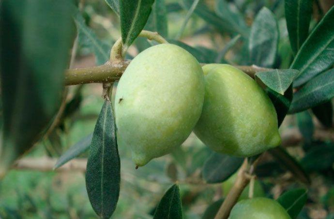 El IRTA conserva más de 50 variedades de olivos de origen catalán